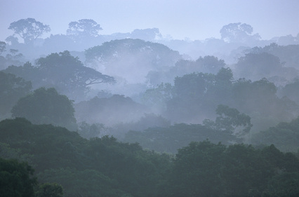 Tropical Rainforest Canopy in Morning Fog